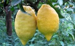 Limone Costa d'Amalfi (sfusato)